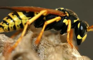 Bees, Wasps, Yellow Jackets
